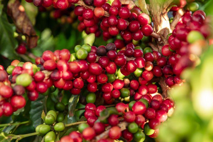 manfaat sehat buah kopi