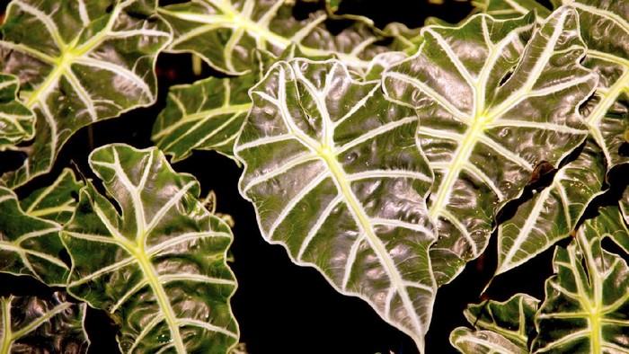 African Mask plant - Latin name: Alocasia x Amozonica. Horizontal
