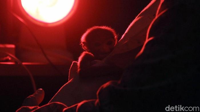 Anak Owa Jawa (Hylobates moloch) lahir secara caesar di Pusat Rehabilitasi Owa Jawa Taman Nasional Gunung Gede-Pangrango, Bodogol, Sukabumi, Jawa Barat, Rabu (10/2). Kelahiran anak Owa Jawa berjenis kelamin betina lahir pada tanggal 3 Februari 2021 lalu.