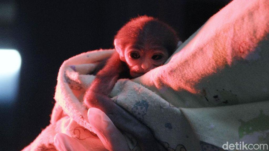 Terancam Punah, Anak Owa Jawa Ini Lahir dengan Selamat