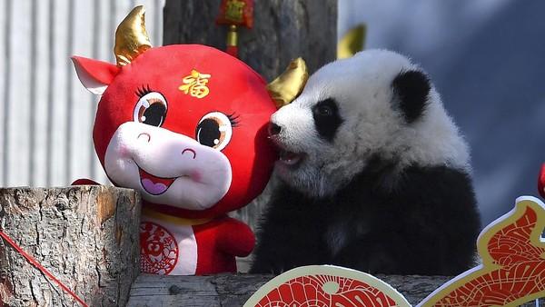 Tingkah lucu anak-anak panda tentu saja menarik perhatian pengunjung.