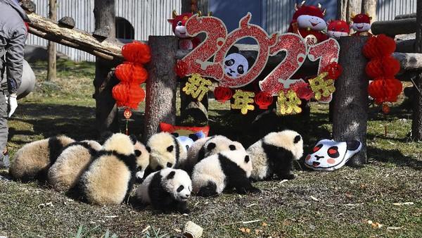 Sepuluh anak panda melakukan debut publik mereka di Cagar Alam Wolong di provinsi Sichuan, China barat daya.