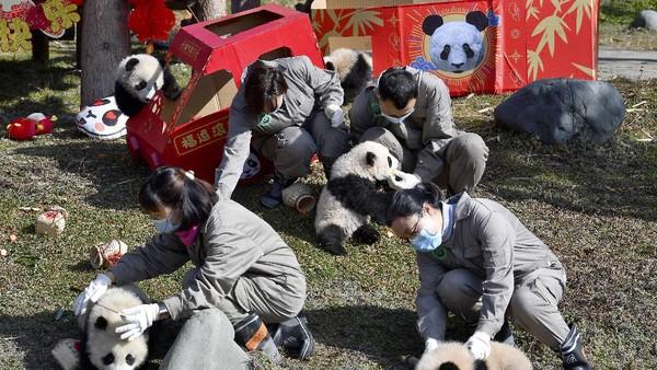 Menurut Pusat Konservasi dan Penelitian China untuk Panda Raksasa di provinsi Sichuan, usia panda berkisar antara 4 hingga 6 bulan, dan semuanya dihasilkan dari kawin alami.