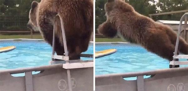 Beruang yang melompat ke dalam kolam renang. Ingat-ingat gaya kalian saat melompat ke kolam renang, mirip atau enggak?