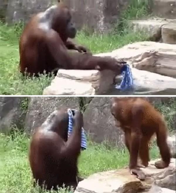 Orangutan ini menirukan gaya penjaganya saat bersih-bersih setiap habis kerja.