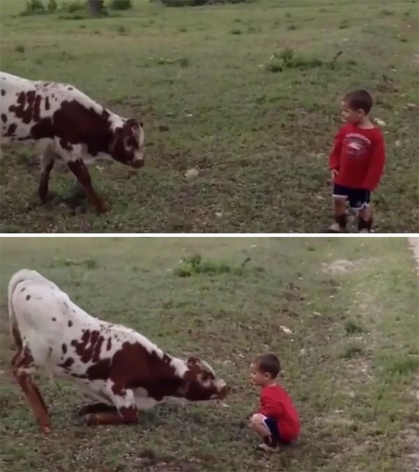 Anak-anak akan selalu menjadi anak-anak. Seperti anak sapi dan bocah laki-laki ini.