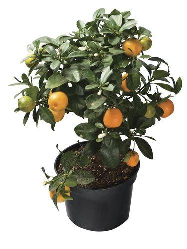 Pohon kumquat.