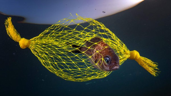 Pasquale Vassallo dari Italia adalah runner-up dalam kategori Konservasi Laut untuk fotonya berjudulpermen kuning. Iamenyoroti bencana pencemaran plastik.