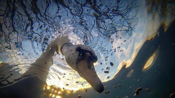 Foto berjudul angsa bisu matahari terbit sedang makan di bawah air karya Ian Wade. Ia menyabet gelar British Waters Compact.