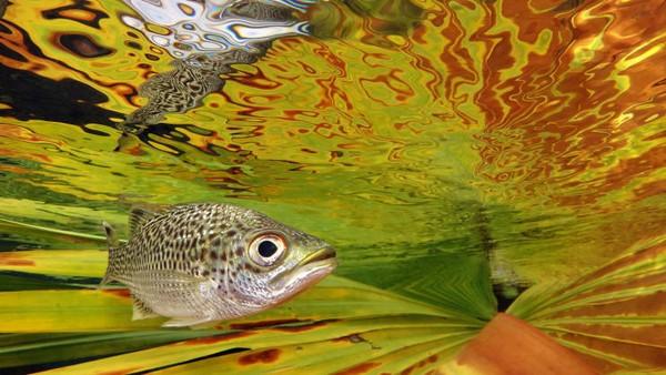 Kategori Compact dimenangkan oleh Jack Berthomier dari Kaledonia Baru. Foto berjudul doule (Kuhlia Rupestris) di dekat permukaan ini menggambarkan jenis ikan mas dengan latar belakang warna serupa.