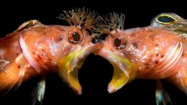 Foto ikan berjudul tatap mukakaryaJinggong Zhang dari China. Ia menjadi runner-up untuk kategori Perilaku. Gambar dua ikan blenny ini diambil di Jepang.