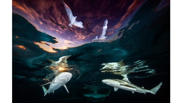 Renee Capozzola ddari Amerika telah dinobatkan menjadi juara umum. Iamengirim gambar yang menakjubkan tentang hiu karang. Predator laut ini ia potret di Polinesia Prancis.