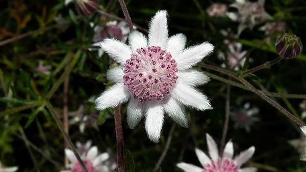 Selain langka, bunga itu juga memiliki warna yang cantik yakni perpaduan warna pink dan putih.