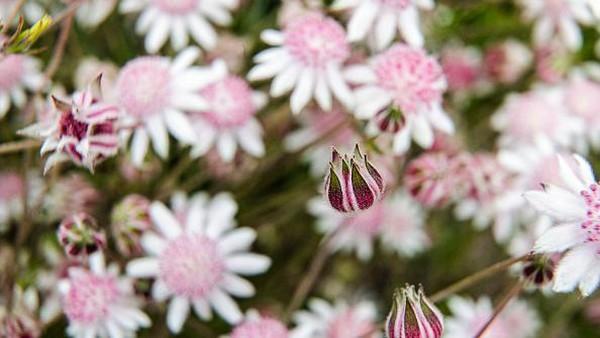 Bunga langka itu pun diketahui bermekaran di bekas area kebakaran lahan yang melanda Australia beberapa waktu lalu.