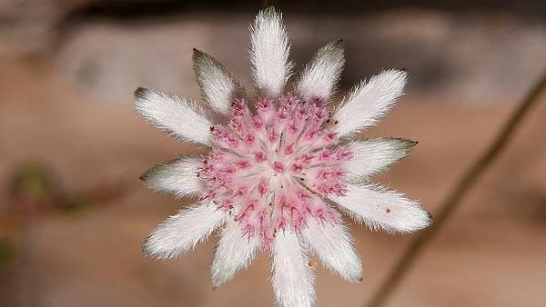 Penampakan bunga Pink Flannel yang mekar di bekas lahan karhutla Australia.