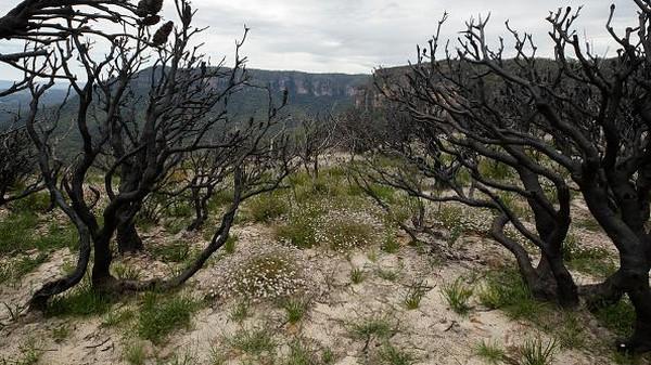 Bermekarannya bunga-bunga Pink Flannel di bekas lahan karhutla Australia itu pun tampak kontras dengan pohon-pohon di sekitarnya yang terdampak kebakaran hutan di kawasan itu pada tahun 2019-2020 silam.