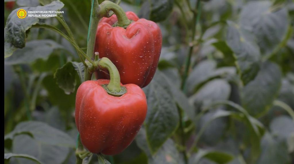 Ditantang Dosen Bikin Kebun Paprika, Pria Ini Berhasil Raup Omzet Ratusan Juta