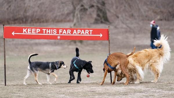 Para anjing akan dibiarkan bebas berlari di taman oleh para pemiliknya.