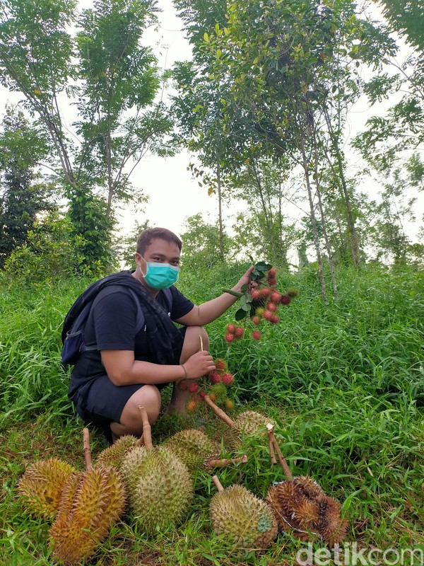 Lihatlah apabila ada buah durian yang jatuh ke tanah akibat sudah matang. Durian di sini harus diambil lebih cepat dan pagi karena banyak yang jatuh dari pohon. Setiap tahunnya, traveler bisa menikmati durian antara bulan Maret-Mei. (Ibnu Munsir/detikTravel)