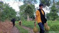 Foto: Rela Masuk ke Hutan Demi Durian Jatuh dari Pohon