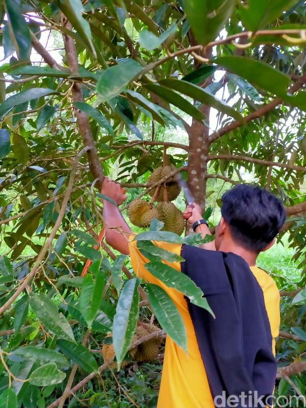 Traveler harus memasuki hutan dengan berjalan kaki sekitar 15 menit. Untuk menikmati durian asal Bulukumba tersebut, Anda sudah harus berada tepat pukul 06.00 WITA. Tak perlu memanjat pohonnya, cukup lihat sekitar saja. (Ibnu Munsir/detikTravel)