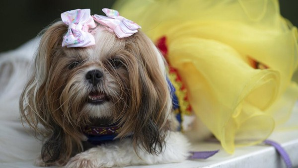 Kegiatan yang dihadiri sejumlah anjing berpenampilan unik nan menarik itu digelar di kawasan Rio de Janeiro pada Sabtu (13/2/2021) waktu setempat.