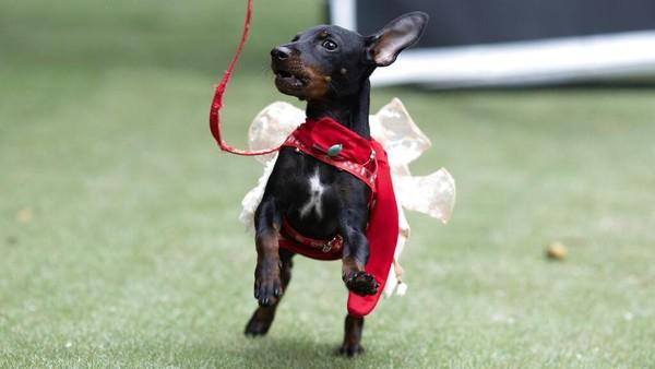 Karnaval anjing itu diketahui rutin digelar setiap tahunnya di Brasil.