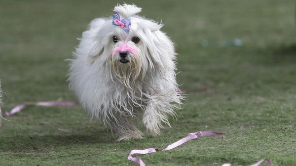 Penampilan seekor anjing yang ikut serta dalam karnaval di kawasan Rio de Janeiro, Brasil.