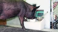 Deretan Bukti Babi Punya Kecerdasan Kognitif Tinggi