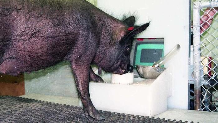 Babi memiliki kemampuan luar biasa untuk belajar cara bermain video game. Ini bisa menjadi tanda bahwa babi merupakan salah satu hewan berkognitif baik.