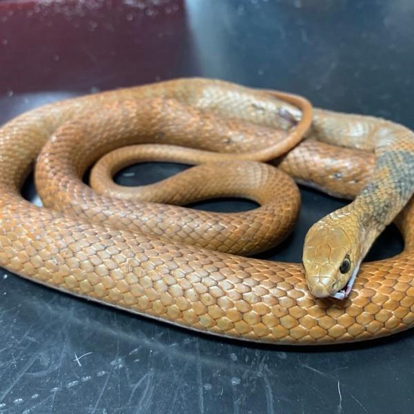 Jumlah spesies ular di dunia ada lebih dari 3.000 spesies yang tersebar di seluruh dunia. (Animal Emergency Service Facebook)