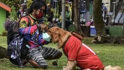 Anjing berjenis Golden Retriever dilatih pemiliknya untuk patuh pada protokol kesehatan COVID-19. Anjing bernama Joy ini juga dilatih tertib berlalu-lintas.