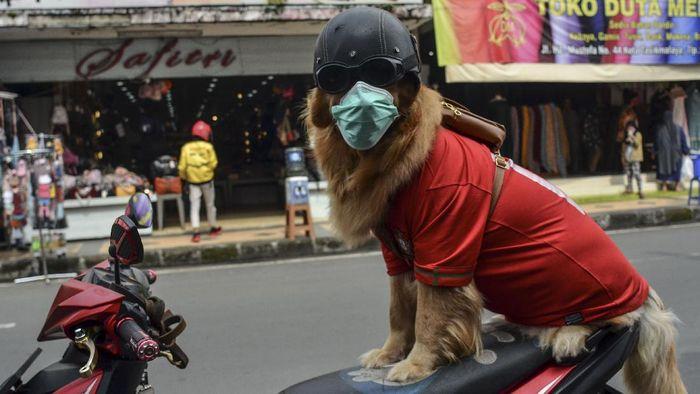 Pelatih anjing, Aril Saputra memakaikan masker kepada anjingnya bernama Joy di Alun-alun Kota Tasikmalaya, Jawa Barat, Senin (15/2/2021). Anjing berjenis Golden Retriever ini sengaja dilatih untuk mengedukasi masyarakat dalam mematuhi protokol kesehatan saat pandemi COVID-19 dan tertib berlalu-lintas. ANTARA FOTO/Adeng Bustomi/rwa.