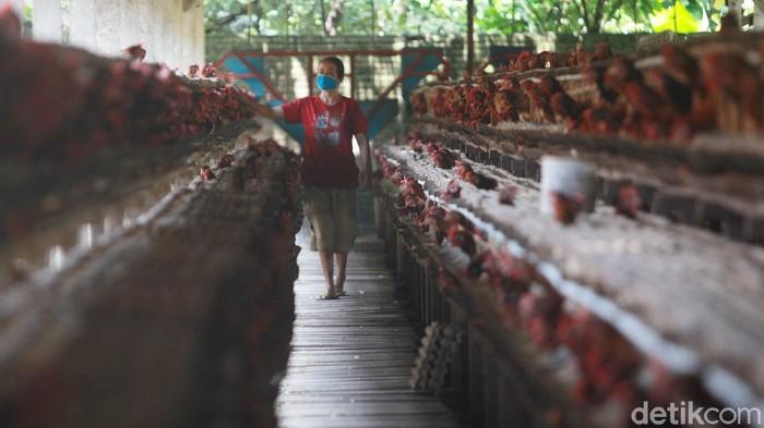 Para pekerja melakukan perawatan rutin di peternakan ayam petelur di Blitar, Jawa Timur, (2/2/2021). Peternakan ayam petelur masih menjadi primadona untuk menopang ekonomi masyarakat Blitar di sektor pertanian. Sejarah peternakan telur di Blitar dimulai pada era 80an dan terus tumbuh hingga saat ini. (ARI SAPUTRA/detikcom)