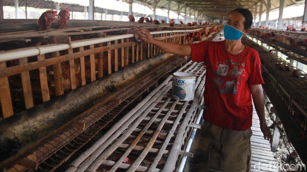 Melihat Primadona Masyarakat Blitar Ternak Ayam Petelur