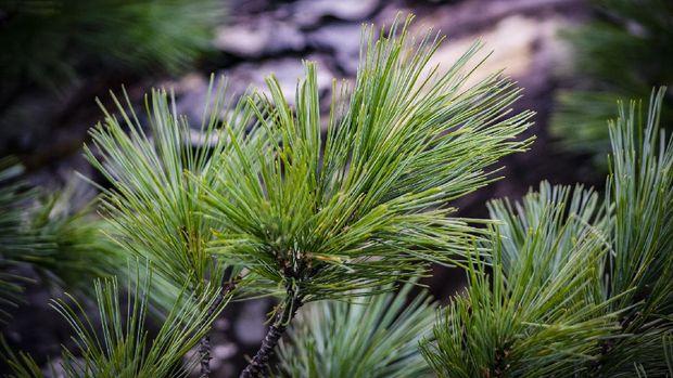 Pohon Cedar  (Foto : Анна Ленская via Pixabay)