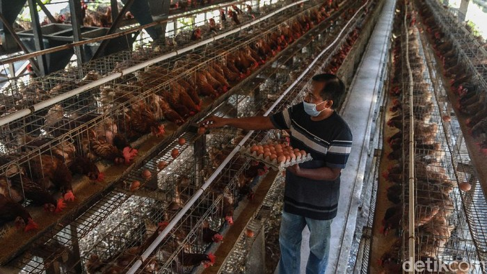 Mengenal Sukarman, Peternak yang Sudah Kenyang Asam-garam Dunia Perteluran  menunjukan peternakan ayam petelur miliknya di Kecamatan Ponggok, Blitar (2/2/2021). Sukarman menekuni dunia perteluran tidak kurang sejak 3 dekade silam. Ia mengenal baik pasang surut mengelola industri ayam petelur sehingga terbiasa menghadapi kondisi yang selalu fluktuatif. Saat ini ia menjadi salah satu pengurus di Koperasi Peternak Unggas Sejahtera yang menaungi para peternak telur di Blitar.