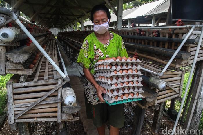 Para pekerja yang menggantungkan hidup dari industri ternak ayam petelur melakukan aktifitas sehari-hari di dalam kandang di kawasan Blitar, Jatim.