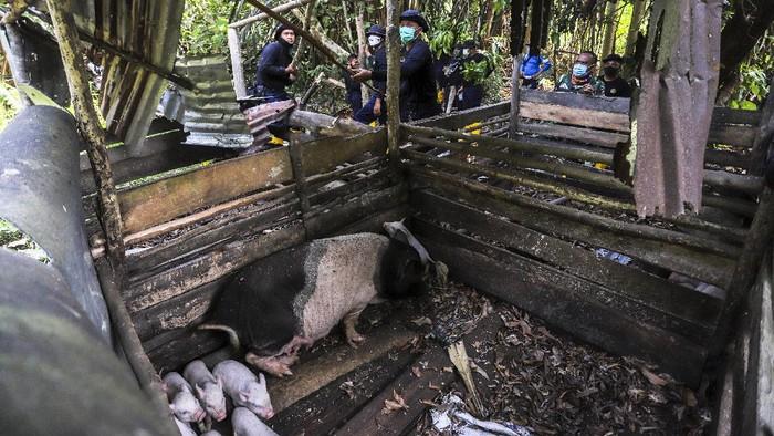 Petugas membongkar paksa kandang babi di kawasan Bandara Hang Nadim, Batam, Kepulauan Riau (Kepri), Selasa (16/2/2021).  Tim gabungan yang terdiri dari Dinas Operasi Lanud Hang Nadim dan Direktorat Pengamanan BP Batam Batam menertibkan belasan peternakan babi ilegal di Kawasan Keselamatan Operasi Penerbangan (KKOP) Bandara Hang Nadim. ANTARAFOTO/Teguh Prihatna/Lmo/rwa.