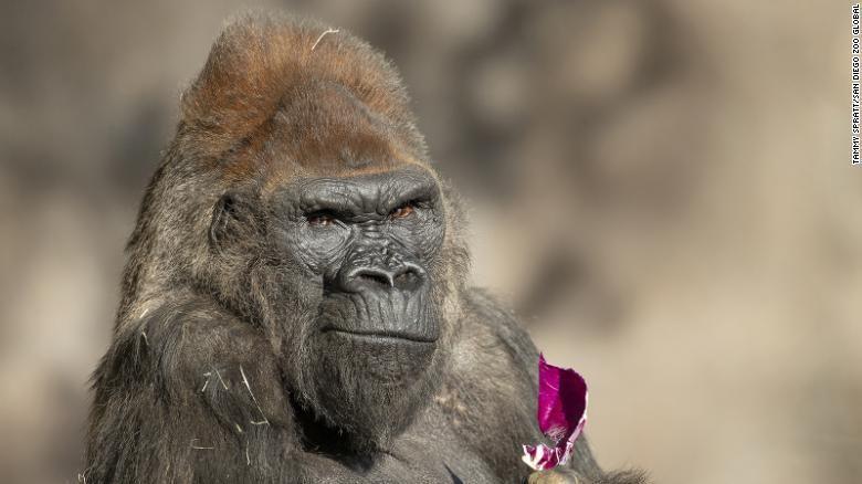 Winston, gorila tua di Kebun Binatang San Diego AS