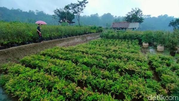 Kebun Anggur Brasil ini berada di Desa Teja, Kecamatan Rajagaluh, Kabupaten Majalengka. Buah Anggur Brasil memang unik karena tidak tumbuh dari ranting seperti anggur pada umumnya. Buah Anggur Brasil justru tumbuh di batang pohonnya.