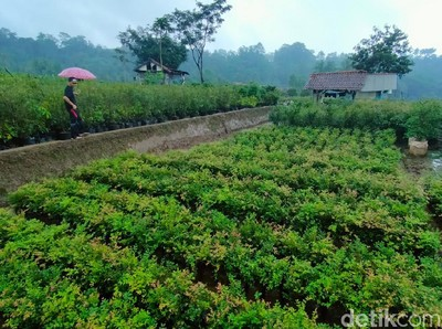 Ada di Majalengka, Agrowisata Kebun Anggur Brasil Yang Unik