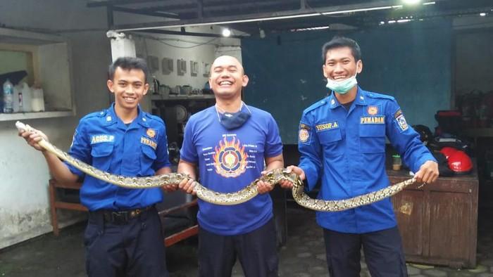 Petugas Damkar Sleman menunjukkan ular yang diamankan dari rumah warga