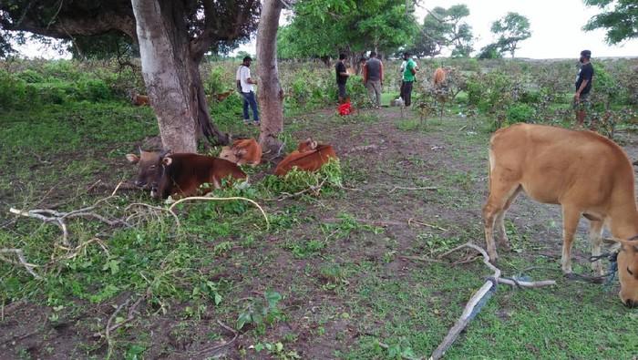 Polda NTB gagalkan penyelundupan sapi curian dari NTT ke NTB (dok Istimewa)