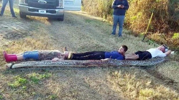 Ular Piton seberat 136 Kg berhasil dibunuh