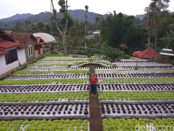Ratna Junianti (55), warga Kampung Wangsakerta, RT 03/05, Desa Cibodas, Kecamatan Lembang, Kabupaten Bandung Barat dengan telaten menggarap lahan di kediamannya menjadi rumah bagi puluhan jenis sayuran dan tanaman hias.