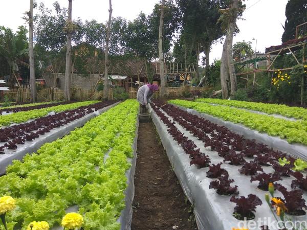Tangan hangat para ibu-ibu membuat destinasi Agrowisata Halimun Lembang, Bandung jadi ladang penghidupan.