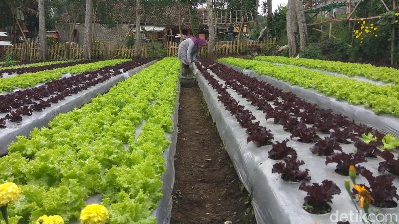 Agrowisata Halimun Lembang Bandung