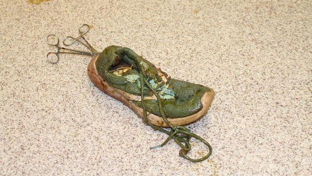 Buaya Ini Dioperasi Demi Keluarkan Sepatu Sneaker Ditelan