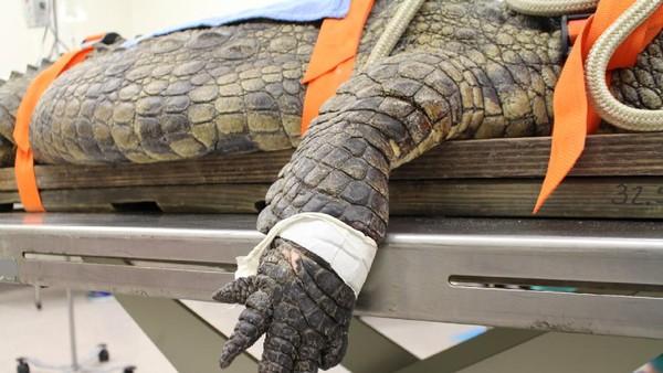 Dia memakan sepatu sneakers pengunjung kebun binatang, mengeluarkan dan melahapnya lagi. Menurut dokter, Anuket tak akan bisa mencerna sepatu tersebut.